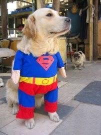 proud_superman_dog_cosplay